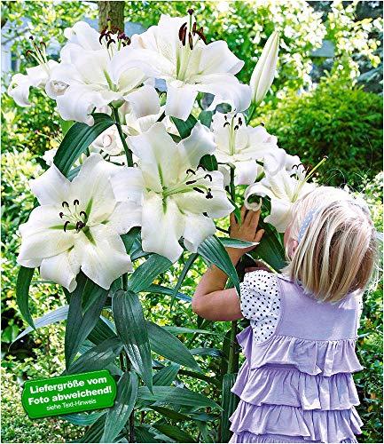 BALDUR-Garten Tree-Lily Pretty Woman 3 Zwiebeln Baumlilien Lilium Hybride Lilien Zwiebeln winterhart duftend