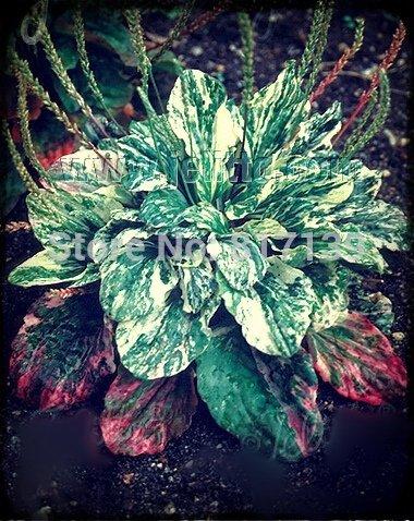 Nouvelle arrivée 3 Graines jardin des plantes panaché Plantain Plantago Major Variegata Herb Seeds