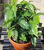 Caffe Arabica, Caffe Semi di arbusto d'Arabia - Coffea arabica - 8 semi - 8 semi