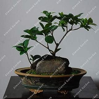 30pcs Bodhi Tree Seeds - Ficus Religiosa - Sacred Fig Bonsai - Easy-Care Houseplant