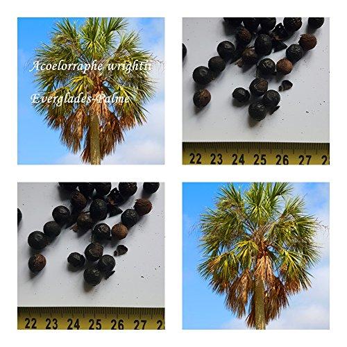 Acoelorraphe wrightii - Everglades Palme - Samen - (20)