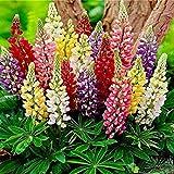 ADOLENB Garten Samen - Gemischte Farben RUSSELL LUPINE (Renaturierung, unten, Garten oder Washington Lupine) Lupinus Polyphyllus Blumen Samen