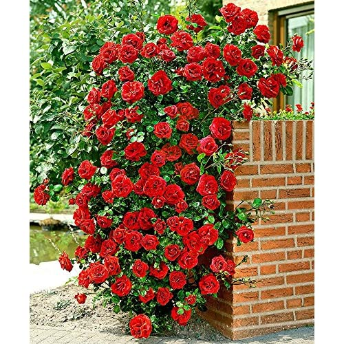 M-Tech Gardens Aster Red Climbing Rose Seeds Rosa Multiflora Perennial Fragrant Flower Home Decor, 20 Seeds