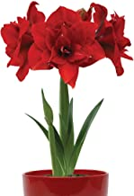Burpee 'Double Dragon' Flowering w/Bowl   1 Red Amaryllis   32-34cm Bulb Circumference   Perfect Holiday Gift