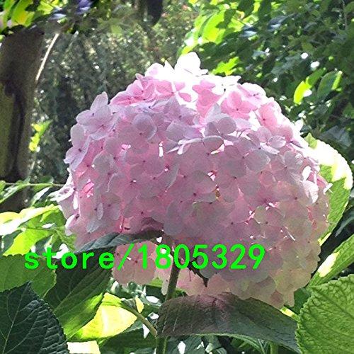 Hot Sale Rare Seeds hortensia rose Fleur Bonsai Fort Viburnum Hydrangea macrophylla Graines Bonsai plantes 100PCS