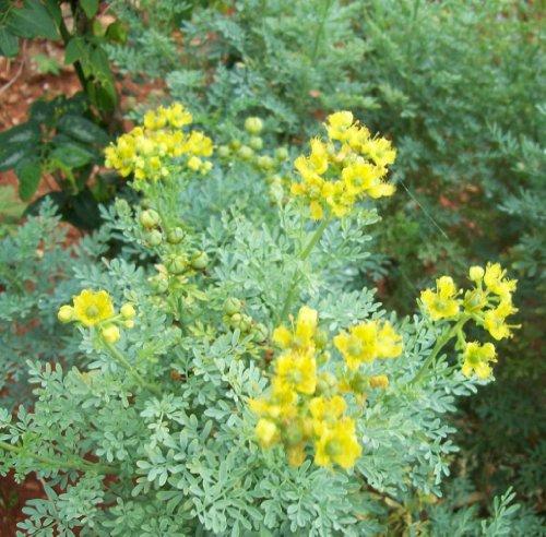 Earthcare Seeds Rue 150 Seeds (Ruta Graveolens) Heirloom - Non GMO - Open...