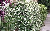 Star Jasmine - Live Plant in a 6 Inch Pot - Trachelospermum Jasminoides - Flowering Evergreen Groundcover Vine