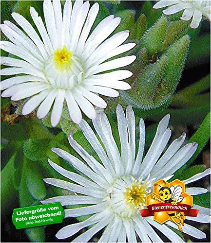 BALDUR Garten Winterharte weiße Eisblume White Wonder, 3 Pflanzen, Delosperma congesta Album Steingarten Stauden