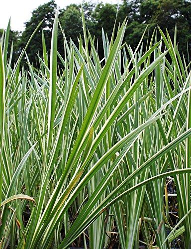 fertig im Pflanzkorb - Acorus calamus 'Variegatus' - winterhart - weiß-grün-gestreifter Kalmus - Wasserpflanzen Wolff