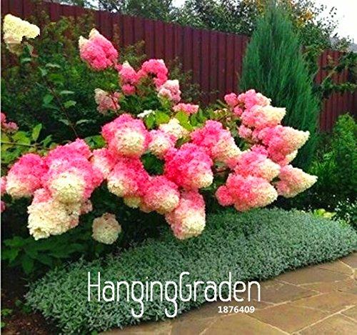 L'arrivée de nouveaux 100 Pcs / Paquet Vanille Fraise Hydrangea Graines de fleurs pour la plantation de fleurs ou d'arbres Bonsai Graines jardin