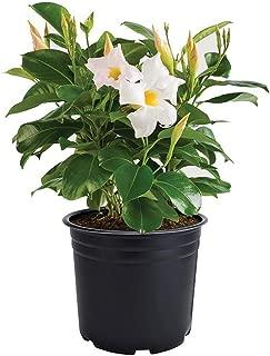 Best white mandevilla flower Reviews