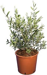 Echte olijfboom - Olea europaea wilde vorm - totale hoogte 60-80 cm - pot Ø 26 cm