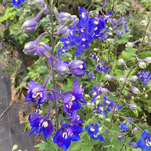 Delphinium Elatum-Hybr. 'Lanzenträger' - Hoher Garten-Rittersporn, im 1,0 Liter Topf, violettblau blühend