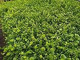 *1 Bund Lysimachia nummularia Pfennigkraut, Aquarienpflanzen, Teichpflanzen lebende Aquarienpflanzen