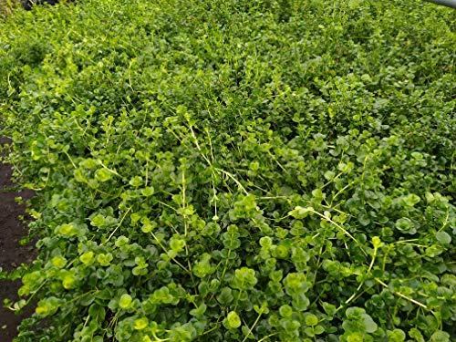 1 Bund Lysimachia nummularia Pfennigkraut, Aquarienpflanzen, Teichpflanzen lebende Aquarienpflanzen