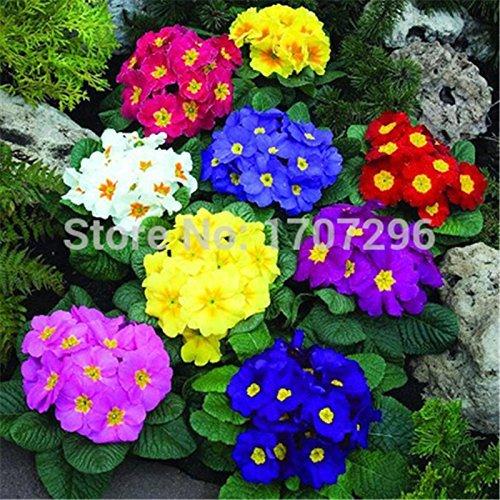 fleurs de saison fleurs en pot graines Primula 50 pièces / lot
