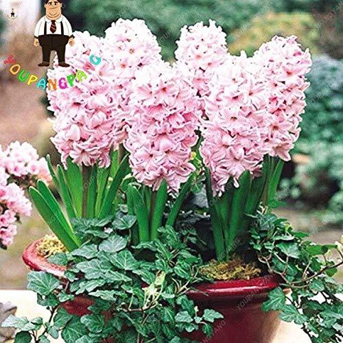 Shopvise 50Pcs Hyazinthe Samen Gartenhyazinthe Blumen Wohnzimmer hydroponischen Samen Blumen für eine Perennial Garden Ornaments Seeds: Hellgelb