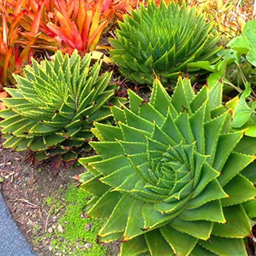 100 pièces rares graines en spirale New Succulentes rotation Aloe vera polyphylla aloe vera graines queen Aloe polyphylla