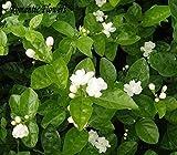 Gratuit Seeds Expédition Jasmin Blanc, plante odorante Arabian Jasmine Flower Seed 20 particules / sac