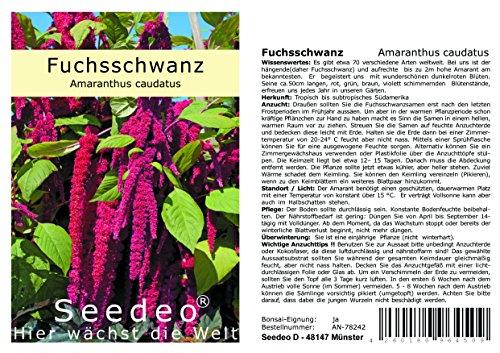 Seedeo® Fuchsschwanz (Amaranthus caudatus) 500 Samen