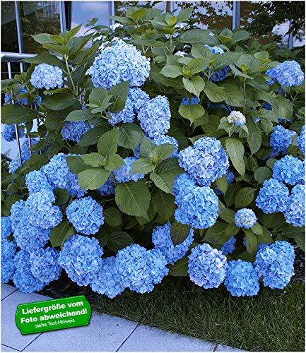BALDUR Garten Bauern-Hortensien 'Générale Vicomtesse de Vibraye®', 1 Pflanze, Hydrangea macrophylla