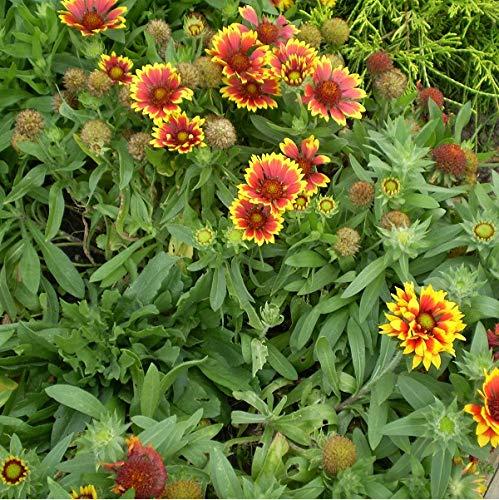 4 x Gaillardia 'Bremen' - Kokardebloem pot 9cm x 9cm