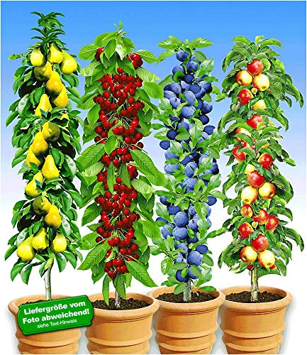 BALDUR Garten Säulen-Obst-Kollektion Birne, Kirsche, Pflaume & Apfel, 4 Pflanzen als Säule Birnbaum, Kirschbaum, Pflaumenbaum, Apfelbaum