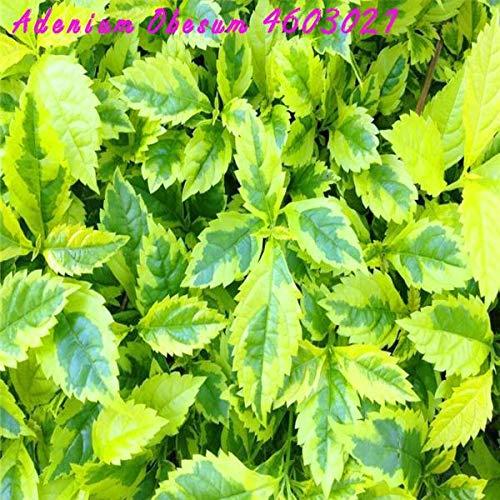 SONIRY Mejor Venta 100 RARA exótica Brocado Bonsai Arco Iris de Colores de Plantas bonsái jardín terraza balcón Begonia de Flor Color Mezclado: Verde Claro