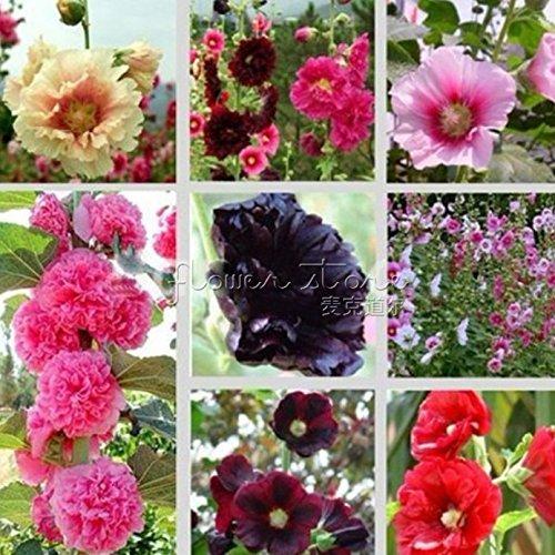 100 freesias graines, magnifique jardin bricolage fleur colorée et parfumée plante, fleur décorative idéale