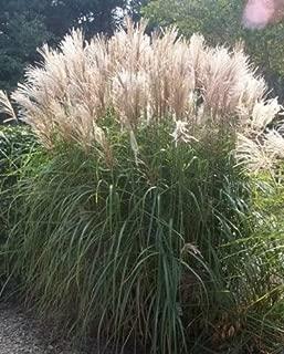 10 Silver Maiden Grass Miscanthus Sinensis Perennial Flower Seeds