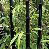 50 semillas de bambú Bambusa semillas de árboles gigantes rara Lako MOSO negro semillas de bambu bambú paquete profesional para el jardín de Negro