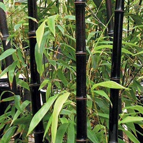 50 graines de bambou rares graines de Bambu de bambou Moso noir géant paquet professionnel graines d'arbres Bambusa Lako pour le jardin à la maison noire