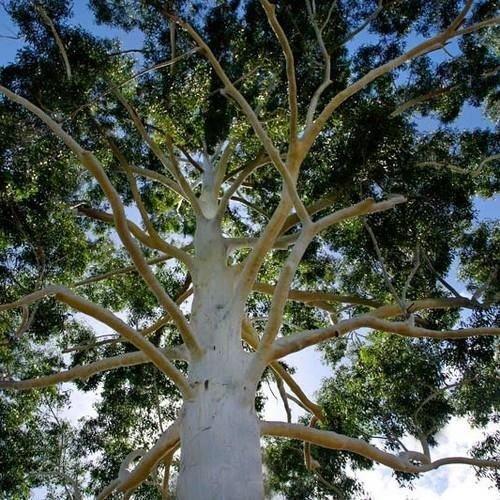 100 Graines Eucalyptus Rose Graines de gommier (Eucalyptus grandis)