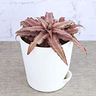 Ugaoo Cryptanthus Brown - Earth Star Plant with Self Watering Pot