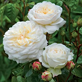Own-Root One Gallon Tranquillity David Austin Rose by Heirloom Roses
