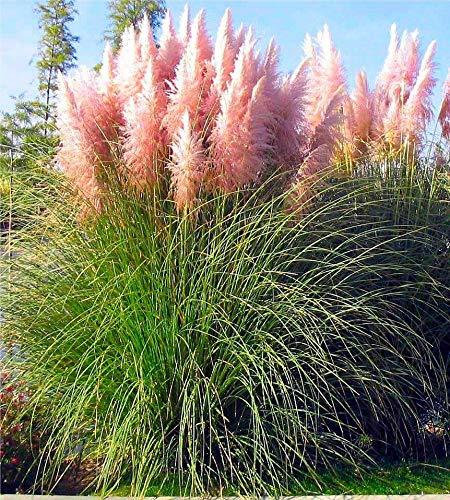 3 x Cortaderia selloana 'Rosea' 1 Liter (Ziergras/Gräser/Stauden) Pampasgras
