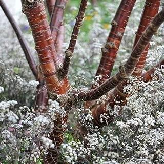 Prunus Serrula Tibetan Birchbark Cherry Tree Seeds #US01 (20)