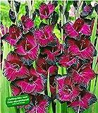 BALDUR Garten Riesen-Gladiole Schönheit der Nacht, 15 Stück Gladiolus