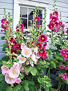 Hollyhock Seeds for Planting, Mixed Colors - 400+ Seeds - Long Blooming Period in All Zones