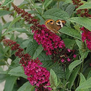 Miss Molly Red Butterfly Bush - Proven Winners - Live Plant - Quart Pot