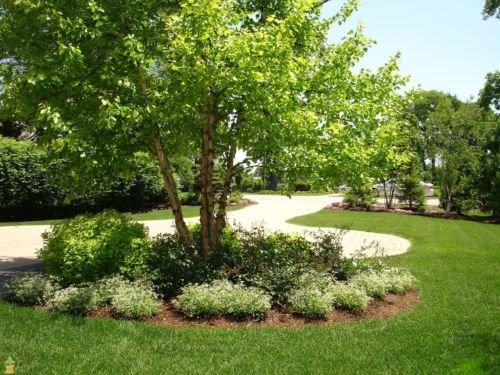 BigVGarden River Birch Tree