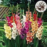sytaun 300pcs semi di gladiolo di colore misto bonsai pianta ornamentale giardino floreale decor facile da piantare, pianta ornamentale semi di gladiolo