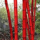 ADOLENB Seed House - Gigante de bambú China Moso Bambú (Phyllostachys edulis/pubescens) Semillas semi-ornamentales de invierno resistentes al color para su jardín y hogar