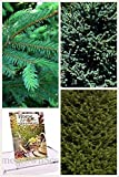 Homegrown Spruce Seeds, Bulk Seeds, Norway Spruce Tree, Quantity (40)
