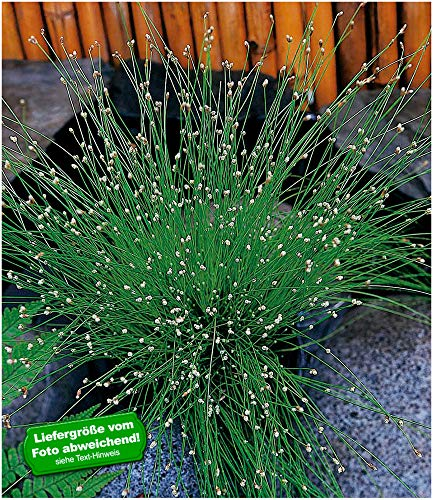 Baldur-tuin vrouwenhaargras - vijverbins, 3 planten gladiolus palustris