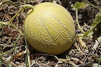 100 Minnesota MIDGET CANTALOUPE MELON Cucumis Melo Reticulatus Fruit Seeds