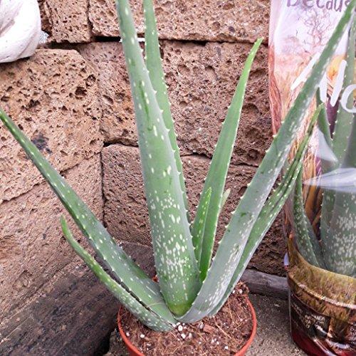 Echte Aloe Vera,medizinisch, 15cm Töpfe, sehr große Pflanzen mit ca.45 cm Höhe,1 Pflanze