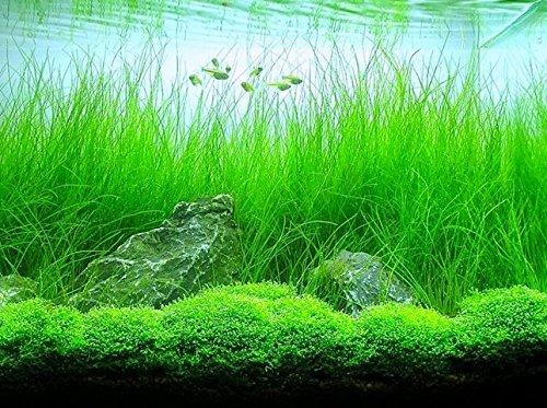 Potted Tall Hairgrass by AquaLeaf Aquatics - Easy Aquatic Live Plant