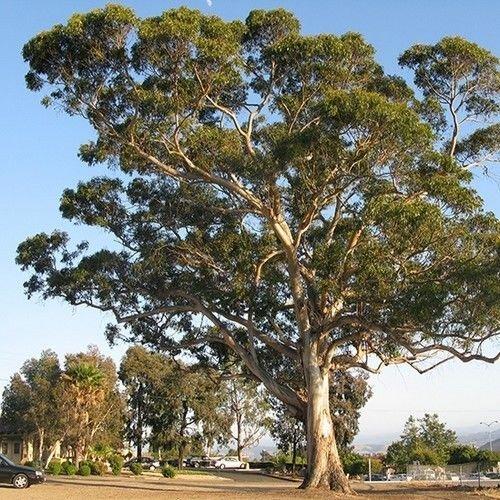 Eucalyptus Blue Gum Baumsamen (Eucalyptus Globulus) 100 Samen