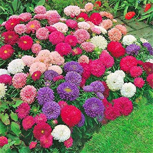100pcs / sac belle couleur Graines de fleurs rares Tapissant Chrysanthème Graines vivaces Bonsai plantes pour jardin ornements rouges